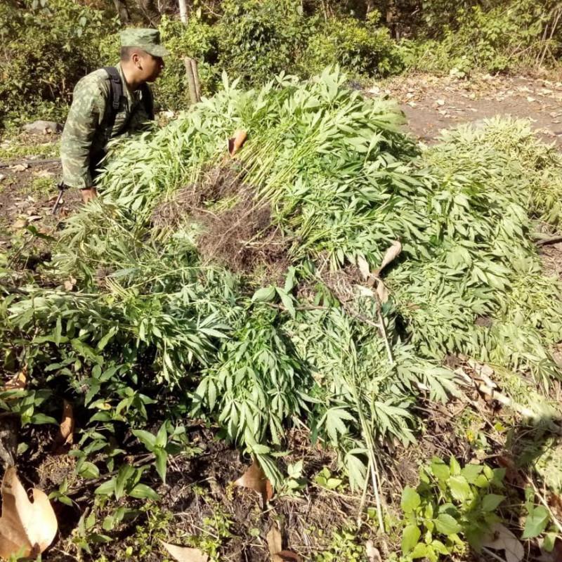 foto-boletin-ssypc_destruccion-de-plantio-de-marihuana_3_1156x867