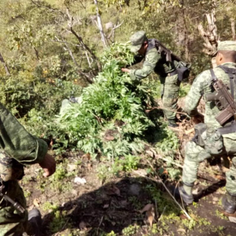 foto-boletin-ssypc_destruccion-de-plantio-de-marihuana_4_1156x867