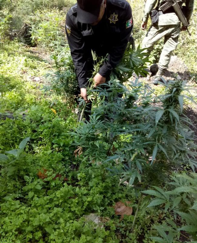 foto-boletin-ssypc_destruccion-de-plantio-de-marihuana_6_650x867